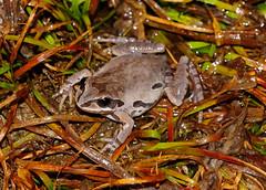 Ornate Chorus Frog (Psuedacris ornata)