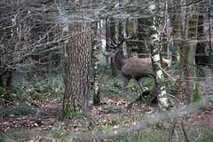 Hert te Dieren - Veluwe (Leo van Zanten - Fotoalbum (Photoalbum)) Tags: veluwe dieren hert gewei deer