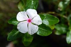 WOL Calauan Laguna Philippines Day 7 (87) (Beadmanhere) Tags: philippines flowers