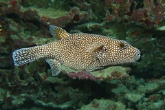 puffer up (BarryFackler) Tags: pufferfish arothronmeleagris coralreef kona ocean keke spottedpuffer guineafowlpufferfish oopuhue fish puffer vertebrate sealife underwater ameleagris spottedpufferfish marinelife bigislanddiving westhawaii guineafowlpuffer scuba pacific aquatic sea coral marine fauna hawaii life reef seacreature honaunaubay island ecology biology dive sandwichislands animal nature creature hawaiiisland marinebiology polynesia undersea sealifecamera water marineecosystem diving tropical organism konacoast hawaiicounty southkona barronfackler zoology saltwater hawaiianislands konadiving marineecology diver honaunau outdoor pacificocean bigisland ecosystem bay hawaiidiving barryfackler being 2018