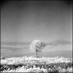 401 Tmax 11 (rubbernglue) Tags: singletree 6x6 squareformat d76 nikkorp 2004 mediumformat uppsala sweden sverige bw blackandwhitefilmphotography analog grain snow zenzabronica ectl bronica