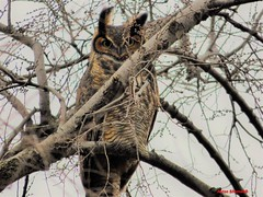 Great Horned Owl (Anton Shomali - Thank you for over 1 million views) Tags: big bigeyes moon cloudy clouds closeup cloud dusks beautifulcapture beautiful hiding hidden branches branch trees tree illinois bradley wildbird wings eyes nose ears bigbird bird great horned owl greathornedowl