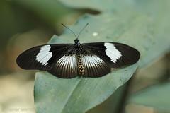 IMG_5752 Acraea alcinoe alcinoe ♀ (Raiwen) Tags: butterflies lepidoptera nymphalidae heliconiinae acraeini acraea acraeaalcinoe africa westafrica guinea moyenneguinée foutadjalon bematistesalcinoe