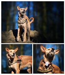 Der Jongleur (ellen-ow) Tags: fressen haustiere hunde podenco säugetiere dog tier animal collage ellenow nikond5