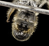 Chelostoma rapunculi, m, tail, ny, warren_2014-07-05-19.05.06 ZS PMax (Sam Droege) Tags: zerenestacker stackshot geologicalsurvey unitedstatesgeologicalsurvey departmentoftheinterior droege biml beeinventoryandmonitoringlaboratory bug bugs canon closeup macro insect patuxentwildliferesearchcenter pwrc usgs dofstacking stacking entomologist canonmpe65 taxonomybinomial animals animal bee bees apoidea hymenoptera pollinator nativebee entomology macrophotography newyork adirondacks adirondackmountains
