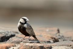Ashy-crowned Sparrow Lark Eremopterix griseus Hampi India (JohnMannPhoto) Tags: ashycrowned sparrow lark eremopterix griseus hampi india