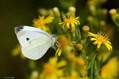 (Enllasez - Enric LLaó) Tags: papallones papallona mariposas mariposa natura naturaleza insectos insectes
