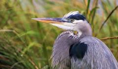Great Blue Heron (dianne_stankiewicz) Tags: wildlife nature coastal marsh seagrass greatblueheron bird heron