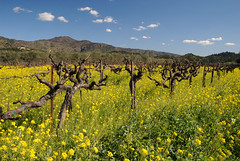 20180221_15783 (Tom Spaulding) Tags: mustard flowers vineyard napavalley yountville ca california yountvilleca winter