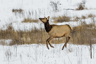 Elk on the Run
