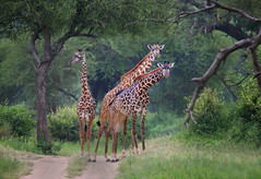 Giraffe Trifecta (ashockenberry) Tags: giraffe tall towering african nature naturephotography wildlifephotography tarangire national park ashleyhockenberryphotography beautiful safari animal mammal africa