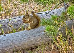lunch break (Pejasar) Tags: squirrel mammal yellowstone nationalpark wyoming logs tree
