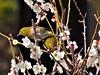 P2242221 (eriko_jpn) Tags: prunusmume plumblossom zosteropsjaponicus japanesewhiteeye bird