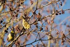 Siskin (Carduelis spinus) (jhureley1977) Tags: greenfinch carduelischloris birds birding stockerslake rickmansworth britishbirds birdsofbritain ashjhureley avibase naturesvoice bbcspringwatch rspbbirders ashutoshjhureley rspb