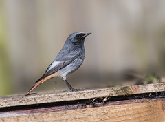 Black Redstart (Male) 15-02-2018-2121 (seandarcy2) Tags: redstart blackredstart birds wildlife migrant rare visitor beds uk urban handheld