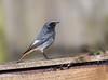 Black Redstart (Male) 15-02-2018-2121 (seandarcy2) Tags: redstart blackredstart birds wildlife migrant rare visitor beds uk urban handheld