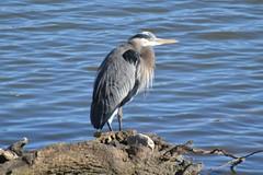 Great Blue Heron by Jeremy Teague (teaguejj) Tags: heron great blue sledd marshall jeremy teague