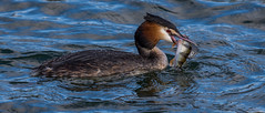 Grebe Triology 2 (Podiceps cristatus) (neil 36) Tags: podiceps cristatus great crested grebe fish perch feeding southyorkshire england