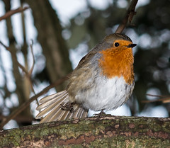 dancing robin (mark.abrams81) Tags: