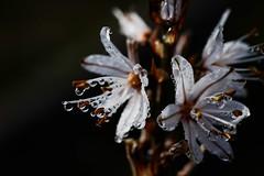 Flor de las tierras Mediterráneas (ameliapardo) Tags: flores mediterraneo islamayor sevilla andalucia españa dehesadeabajo macrodeflores floresyplantas fujixt1
