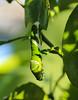 Green (LuckyMeyer) Tags: makro insect butterfly raupe green sun grün caterpillar