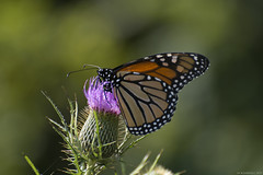Butterfly 2017-183 (michaelramsdell1967) Tags: monarch monarchs butterfly butterflies animals animal green macro nature insect insects wildlife wild wilderness upclose closeup beauty beautiful bokeh thistle meadow field bug bugs vivid vibrant spring pretty wings zen