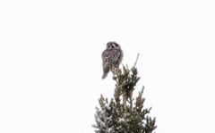 Northern Hawk Owl (Laura Erickson) Tags: strigidae birds stlouiscounty species northernhawkowl strigiformes places minnesota surniaulula