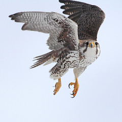 Starling Hunter (gainesp2003) Tags: prairie falcon raptor bird birding flight