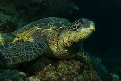 wise old turtle (BarryFackler) Tags: hawaii hawaiiisland bigisland westhawaii pacificocean sandwichislands island kona hawaiicounty 2018 sea outdoor hawaiianislands southkona saltwater polynesia tropical seaturtle konadiving cmydas honu reef scuba cheloniamydas reptile greenseaturtle animal fauna turtle creature hawaiiangreenseaturtle bigislanddiving diver dive diving hawaiidiving ecology ecosystem undersea underwater ocean organism pacific aquatic marinelife seacreature marine sealifecamera marinebiology bay honaunau marineecosystem sealife life marineecology zoology coral biology coralreef being barryfackler barronfackler nature vertebrate