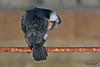 CORMORANT  //  PHALACRORAX  CARBO  (80-100cm) (tom webzell) Tags: naturethroughthelens
