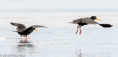 _DS57107.jpg (WaterDragon3) Tags: longreef birds