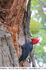 Magellanic Woodpecker - Tierra del Fuego NP, Argentina (Vivek Khanzodé (www.birdpixel.com)) Tags: campephilusmagellanicus genderage wildlife picidae magellanicwoodpecker nature argentina male tierradelfuegonationalpark birds woodpeckers ushuaia malvinas ae