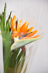 DSC_9388 Bird of Paradise flower from Columbia Road Sunday Flower Market Shoreditch London. (photographer695) Tags: bird paradise flower from columbia road sunday market shoreditch london strelitzia is genus five species perennial plants native south africa it belongs plant family strelitziaceae the named after duchy mecklenburgstrelitz birthplace queen charlotte united kingdom