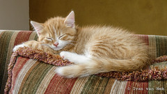 The Young One (Ivan van Nek) Tags: kitten katje ginger cat serialkiller overschild groningen thenetherlands gato paysbas dieniederlande sonydscv3 sony v3 sleep indoor kat poes derailinator nederland