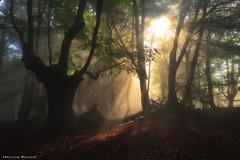 Requiem for a Dream (Hector Prada) Tags: bosque niebla luz mágico sol sombras árbol verano arbol hojas hayedo bruma contraluz forest fog mist light tree sun shadows magic moment fallen nature naturaleza paísvasco basquecountry