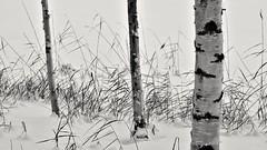 T(h)ree (Stefano Rugolo) Tags: stefanorugolo pentax k5 pentaxk5 ricohimaging smcpentaxm100mmf28 tree three snow reed birch hälsingland sweden sverige