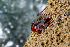 Grapsus adscensionis  Tenerife 12-01-18 Ian W (bo_nzo) Tags: