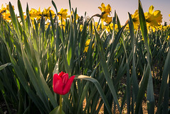 Red Tulip in the yellow daffodils (arohila98501) Tags: april2017 mtvernon washington roozengaardedisplaygarden daffodils washingtonstate colors spring roozengaarde april