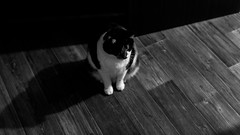 *** (donnicky) Tags: artificialillumination blackwhite cat dof domesticanimal highangleview home light nopeople oneanimal pet publicsec shadow sitting лилу