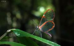 Glass wing (Guilherme GMP) Tags: borboleta butterfly macro cy2 challengegamewinner