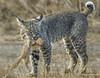 Circle of Life (vishalsubramanyan) Tags: bobcat cat predator prey squirrel eyes california wildlife nature wildlifephotography naturephotography nikon d500 300f4 14tc