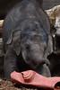 Sanuk @ Artis 23-04-2017 (Maxime de Boer) Tags: sanuk asian elephant aziatische olifant natura artis magistra zoo amsterdam animals dieren dierentuin gods creation schepping creator schepper genesis