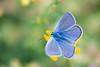 Blue Wings (kuhnmi) Tags: bläuling schmetterling falter tagfalter butterfly lycaenidae nature natur insect insekt animal tier tierwelt fauna wildlife spring summer wing wings flügel beautiful irchelpark