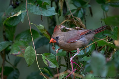 Northern Cardinal - IMG_7649 (arvind agrawal) Tags: northerncardinal cardinal conowingo arvindagrawal canon canon1dx canon600