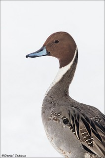 Northern Pintail Portrait