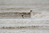 Huitrier pie-0004 (philph0t0) Tags: huîtrier pie haematopus ostralegus eurasian oystercatcher huîtrierpie haematopusostralegus eurasianoystercatcher bird oiseau limicole plage mer sea beach