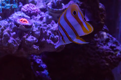 Copper Band Butterfly (ct_purley) Tags: canon 5d mrk iv mk reef saltwater aquarium butterfly salfin tang sps