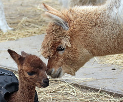 Alpaca Hoenderdaell BB2A3147 (j.a.kok) Tags: alpaca dier animal mammal zoogdier hoenderdaell zuidamerika southamerica herbivore