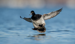 Lesser Scaup (nikunj.m.patel) Tags: scaup lesserscaup waterfowl wild wildlife wildfowl ducks nature beauty flight landing nikon photography naturephotography