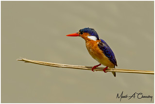 The Beautiful Kingfisher!